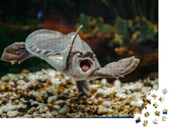 """Puzzle-Motiv """"Carettochelys insculpta. Die lustige Schildkröte schwimmt unter Wasser. Lustige Tiere"""" - Puzzle-Teile zu 1000 Teile Puzzle"""